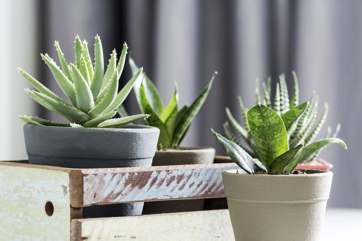 Coltivare L Aloe Vera In Casa La Pianta Dai Mille Benefici Per La Bellezza E La Salute Cicatrizzante Antinfiammatoria Il Mondo Delle Donne